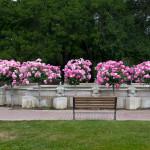 Ledson Pink Roses
