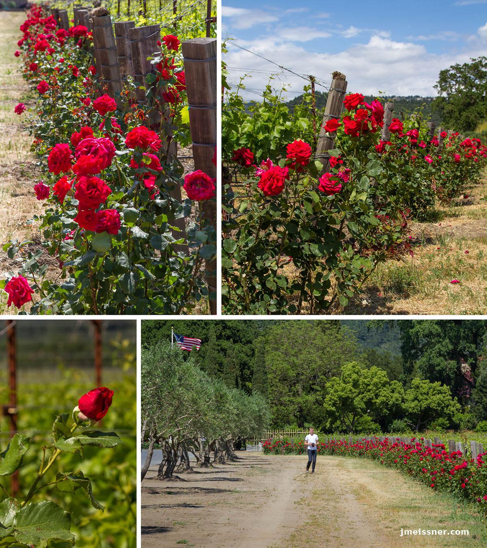 Red Roses Charles Krug